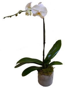 Single-Stem Phalaenopsis Orchid