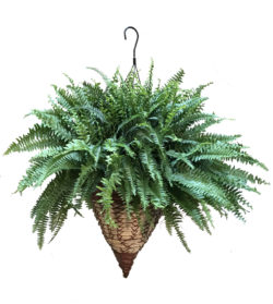 Hanging Fern Basket